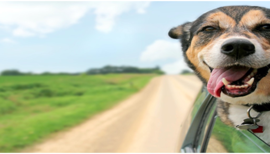 Natural Pet Pain Relief: 3 Great Benefits of Medipets CBD Oil for pets and Here Is How You Can Feed CBD to Your Pets