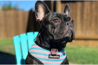 Why Should You Dress Up Your Frenchie Dog