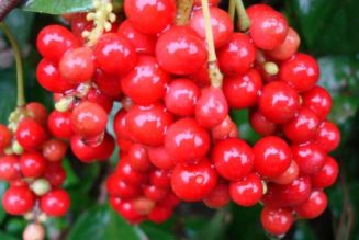What is Schisandra? It's Uses, forms and benefits:
